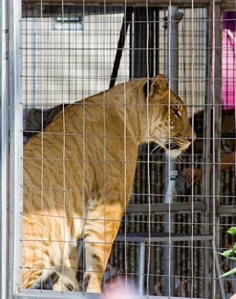 mia-the-liger