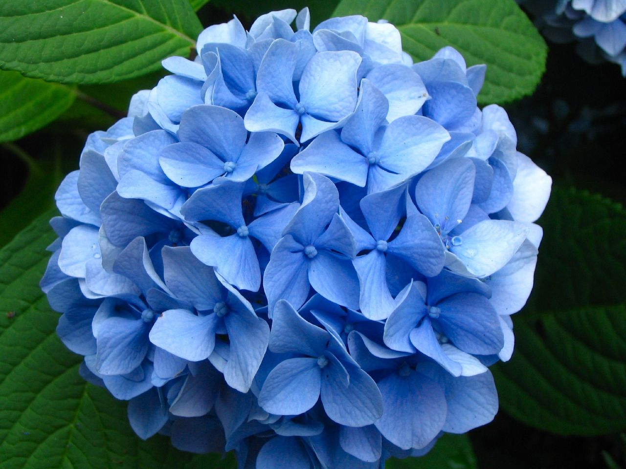 Lawn and garden feature growing and caring for hydrangeas - Caring hydrangea garden ...