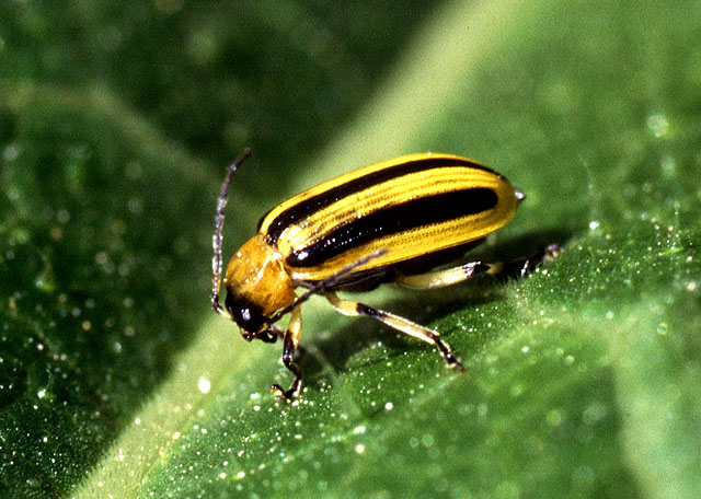 Lawn and Garden Feature:  Controlling Insects Organically
