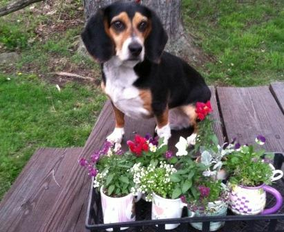 Buddy looks over some of the plants that will be available at the AWC plant sale on May 16-17. (Provided photo)