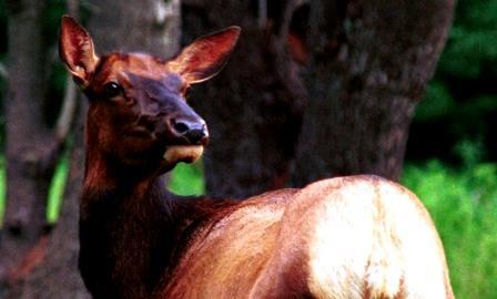 Earlier Elk License Deadline Almost Here