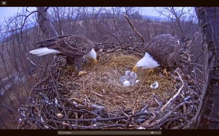 Eggs Hatched, Eagle Cam Takes on New Life