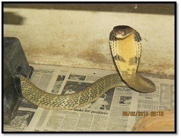 King cobra is on the loose in Orlando, Florida