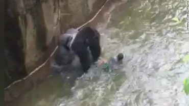 Was shooting a rare gorilla the only option for Cincinnati Zoo?