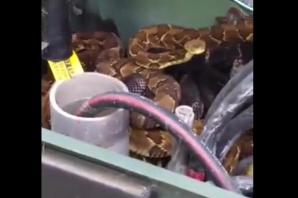 Watch:  Rattlesnakes found napping in Pennsylvania transformer box