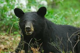 Preliminary PA Bear Harvest Results