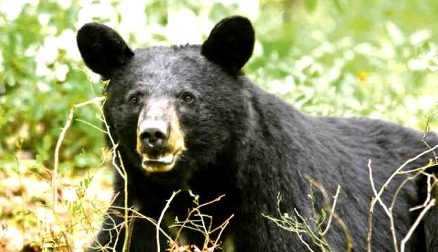 Pennsylvania Has Huge Black-Bear Population for Hunters