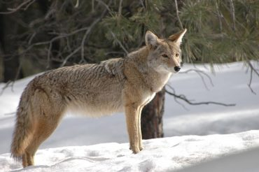 ExploreJefferson:  Police Searching for Coyote That Attacked Woman in Brookville