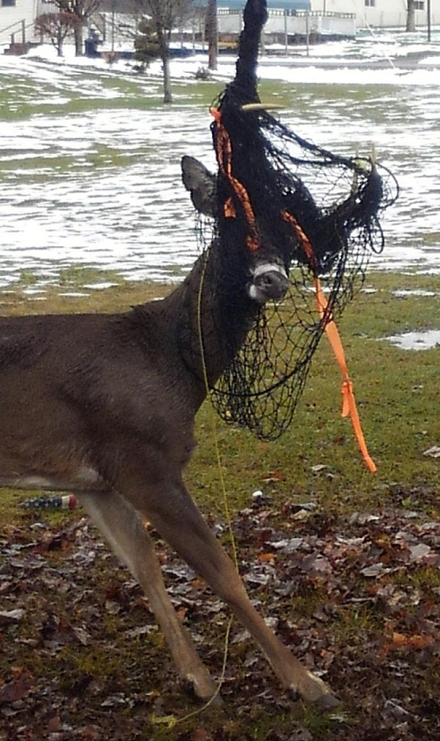 Tangled Eight-point Buck Freed in Curwensville