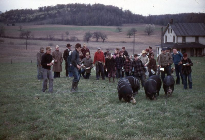 Throwback Thursday: 4-H Hog Judging Time in Penn Township