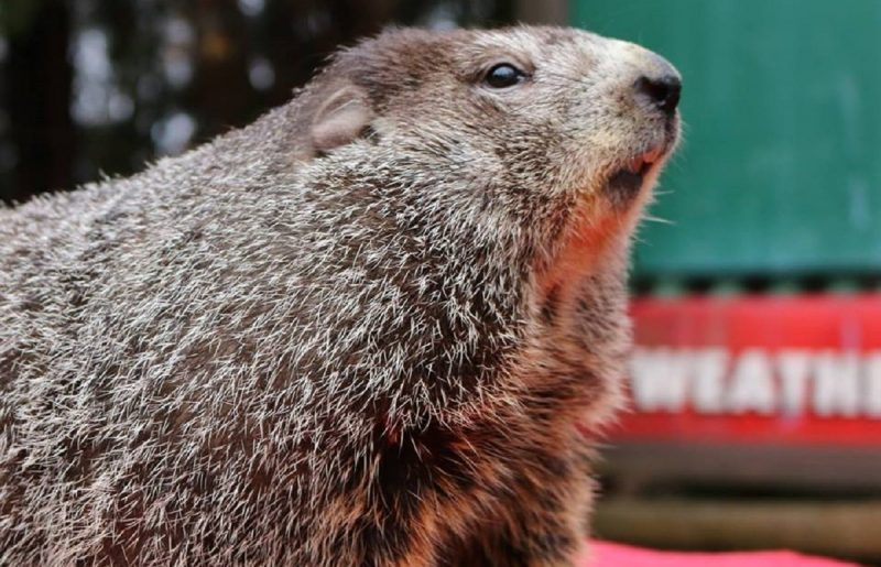 BREAKING: Punxsutawney Phil Predicts Early Spring